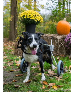 Blanche, a dog at Stevens-Swan Humane Society, is shown with her new canine wheelchair.